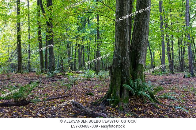 Old hornbeam tree in front of deciduous stand with ferns, Bialowieza Forest, Poland, Europe