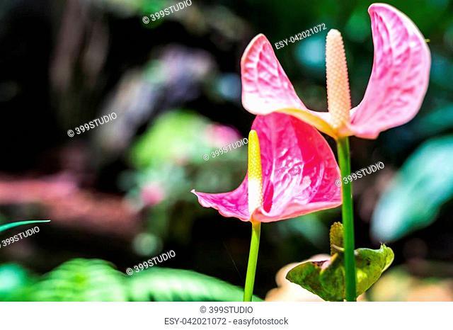 Pink spadix flower in rainforest close up, Flamingo lily, Pink anthurium andreanum flower