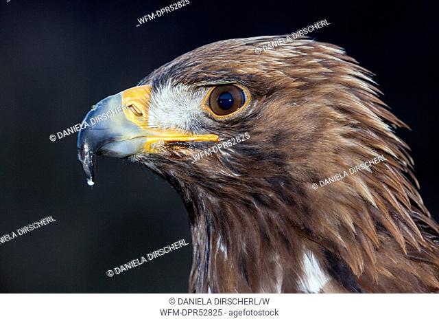 Golden Eagle, Aquila chrysaetos chrysaetos, Bavaria, Germany