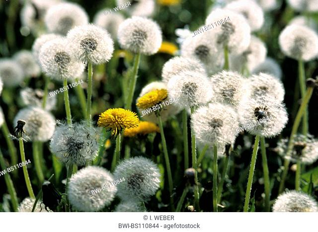 common dandelion (Taraxacum officinale), blooming and fruiting plants