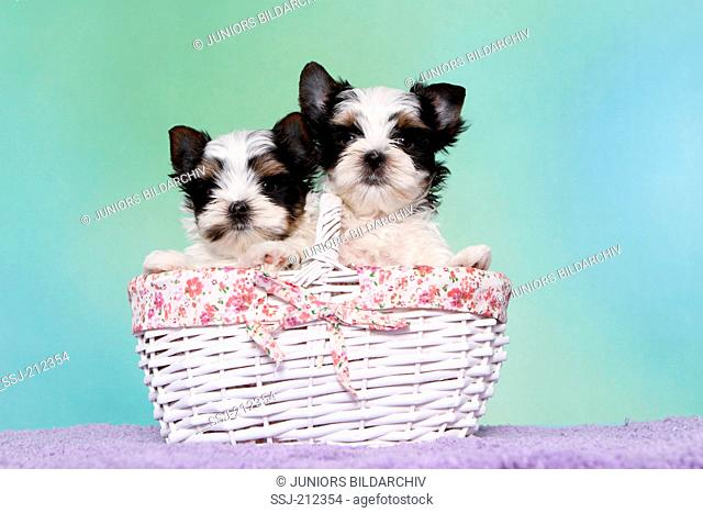 Biewer Terrier. Two puppies (7 weeks old) in a shopping basket. Studio picture against a blue background. Germany