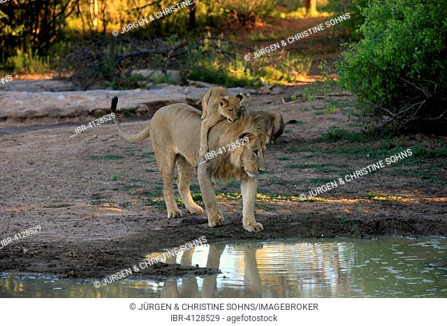 Lions (Panthera leo), cub, four months, on the back of the brother, five years, at the water, Tswalu Game Reserve, Kalahari Desert, South Africa