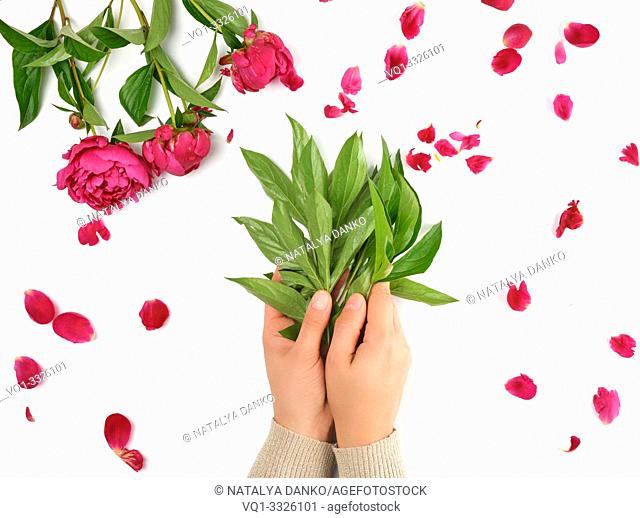 two female hands and burgundy blooming peonies on a white background, fashionable concept for hand skin care, anti-aging care, spa treatments