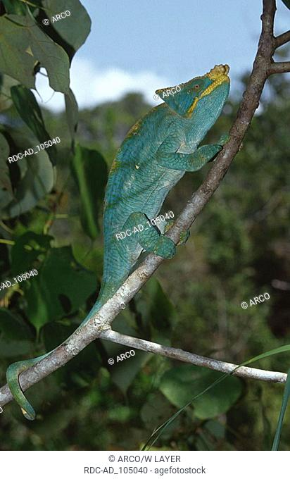Parson's Chameleon Madagascar Chamaleo parsonii Parsons Chamaeleon Madagaskar Parsons Chamäleon seitlich side