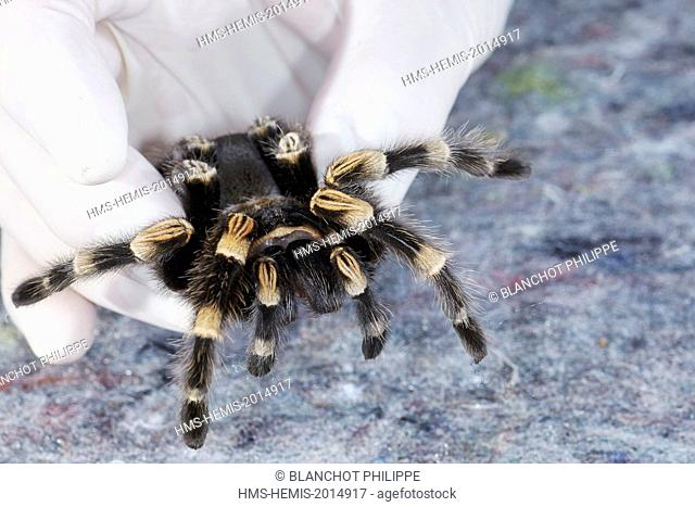 France, Paris, National Museum of Natural History, Mygalomorphae, Theraphosidae, Manipulation of a Mexican redknee tarantula (Brachypelma smithi)