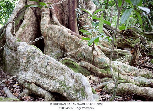 Giant roots in a dense forest, Espiritu Sanot, Vanuatu Islands, Melanesia, South Pacific