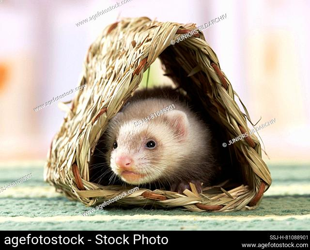 Ferret (Mustela putorius furo). Young (6 weeks old) in a braided shelter. Germany