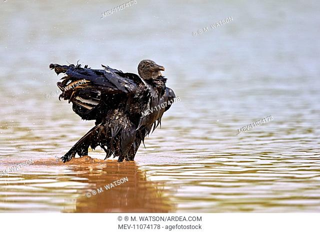 Black Vulture or American Black Vulture taking a bath in the river Pantanal area Mato Grosso Brazil South America