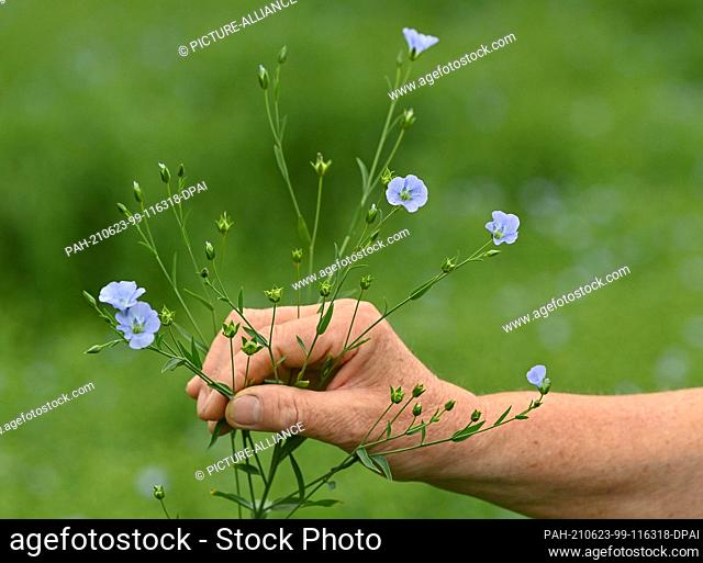 """22 June 2021, Brandenburg, Dürrenhofe: A hand holds a flax plant with blossoms and fruiting bodies. Flax, from which the millers press the """"""""Spreewälder..."""