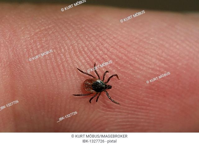 Sheep Tick or Castor Bean Tick (Ixodes ricinus) on human skin