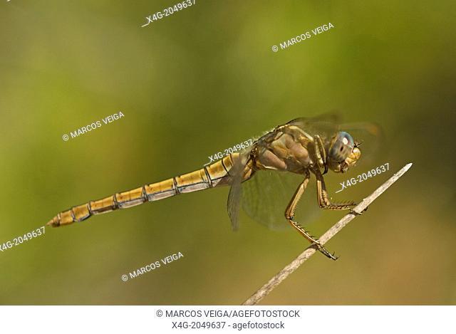 Female Keeled Darter Orthetrum coerulescens. Galicia, Spain