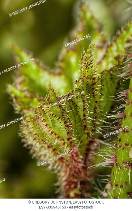 A close up macro image of the leaf of a castor bean begonia