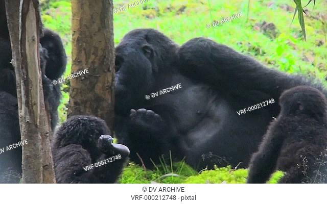 An adult silverback gorilla eats eucalyptus sap from a tree while babies play nearby