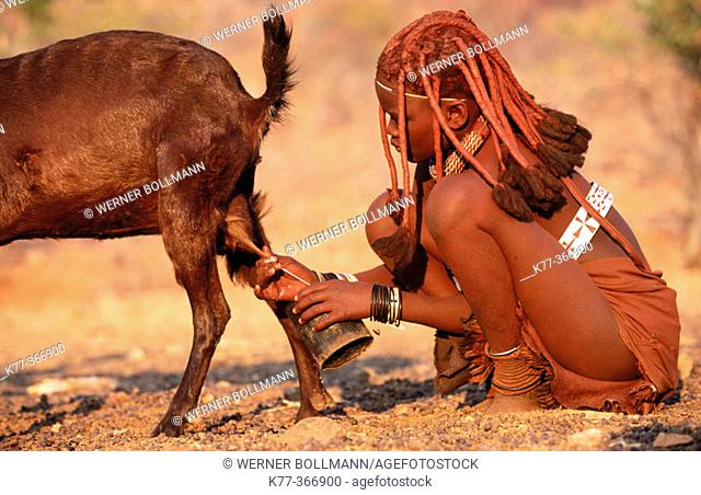 Himba wife milking goats. Kaokoveld. Namibia