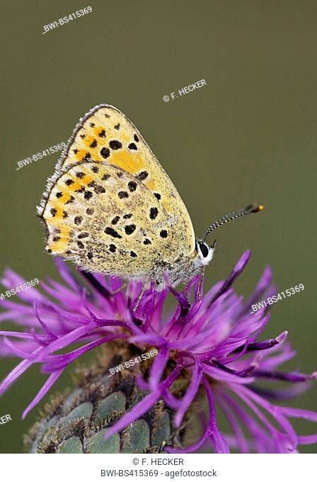 sooty copper (Heodes tityrus, Loweia tityrus, Loweia tityrus, Lycaena tityrus), on a knapweed flower, Germany