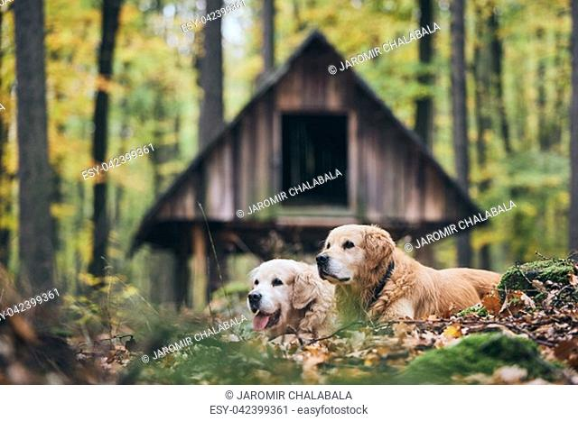 Two purebred golden retriever in autumn forest. Couple of old dogs lying in dry leaves