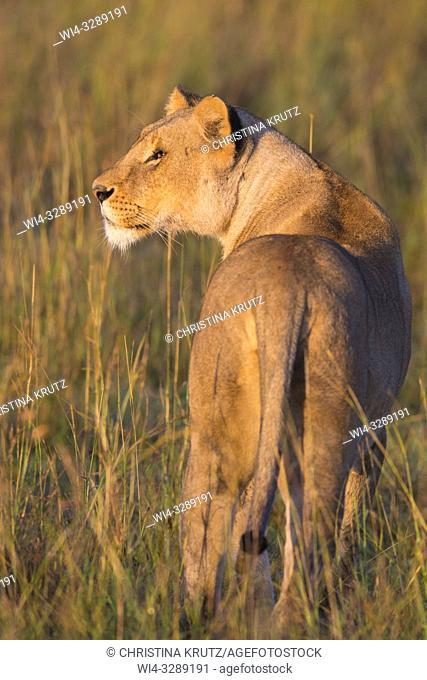 African Lion (Panthera leo) standing in tall grass, Maasai Mara National Reserve, Kenya, Africa