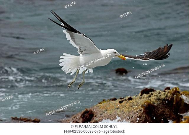 Cape Gull Larus dominicanus vetula adult in flight, Cape Town, South Africa