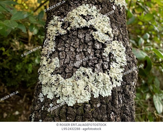 Round-shaped white lichen on the bark of an Oak, Spain