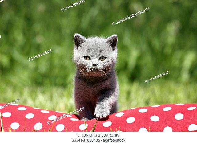 British Shorthair. Gray kitten (6 weeks old) standing on a red cushion with white polka dots. Germany