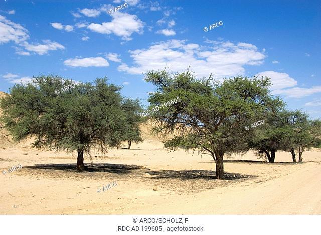 Camelthorn Trees, national park Namib Naukluft, Namib Desert, Namibia, Acacia erioloba