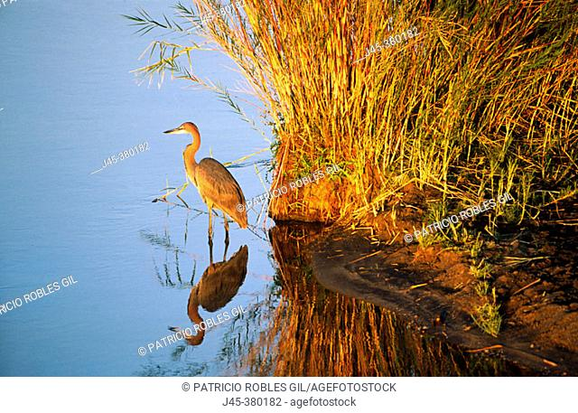 Goliath heron (Ardea goliath). South Africa
