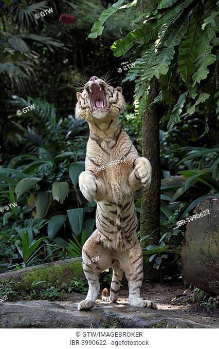 White Bengal Tiger (Panthera tigris tigris) standing on its hindlegs, Singapore