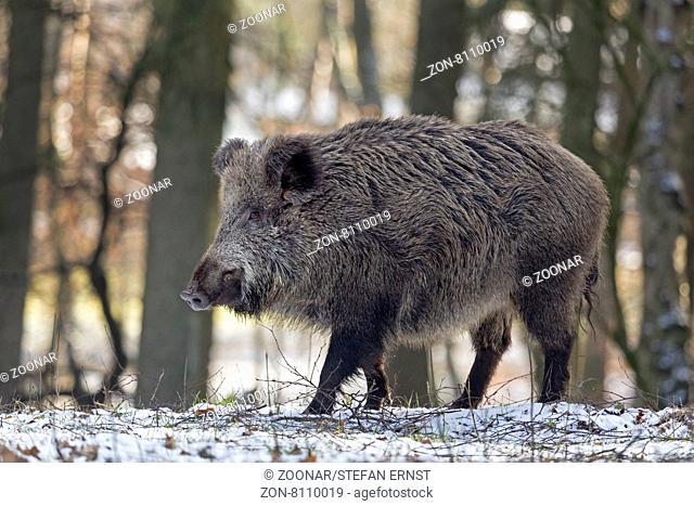 Wildschwein im Schnee, Keiler, captive, Schleswig Holstein, Deutschland, Europa / Wild boar in snow, tusker, Schleswig-Holstein, Germany, Europe / Sus scrofa
