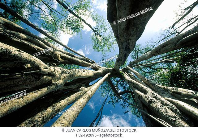 Banyan (Ficus indica or Ficus benghalensis). Madagascar