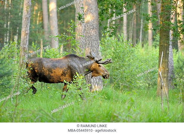 Moose, Elk, Alces alces, Bull in Forest, Germany