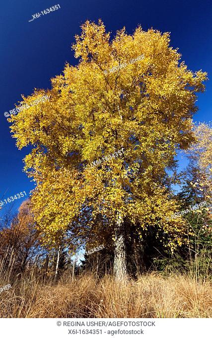 Silver Birch Tree Betula Pendula, in Full Autumn Colour, Hessen, Germany