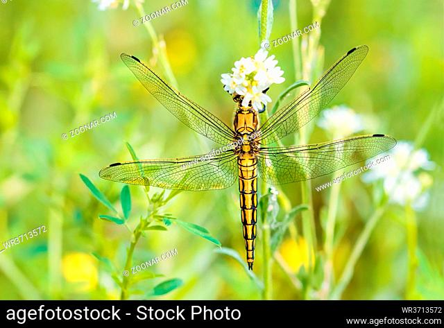 A yellow dragonfly, Orthetrum cancellatum male, also known as black-tailed skimmer, eating on a flower under the warm spring sun