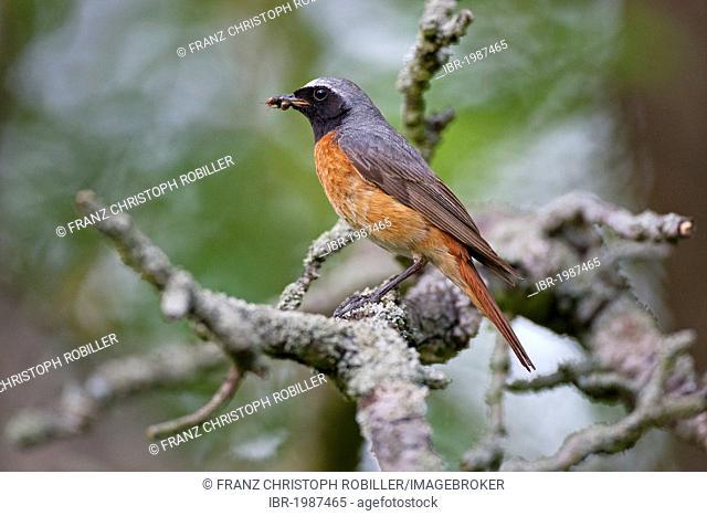 Common redstart (Phoenicurus phoenicurus), Thuringia, Germany, Europe