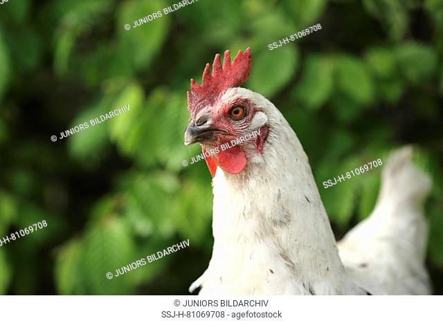 Domestic chicken, breed: Marans Chicken. Portrait. Germany