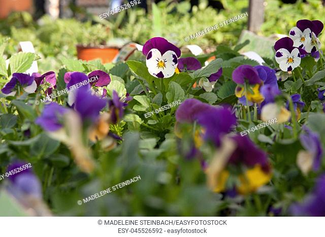 Potted pansies on display at the farmers market in March, selective focus