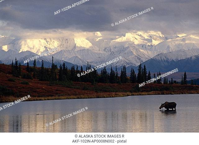 Moose Cow in Wonder Lake/nDenali NP Interior AK