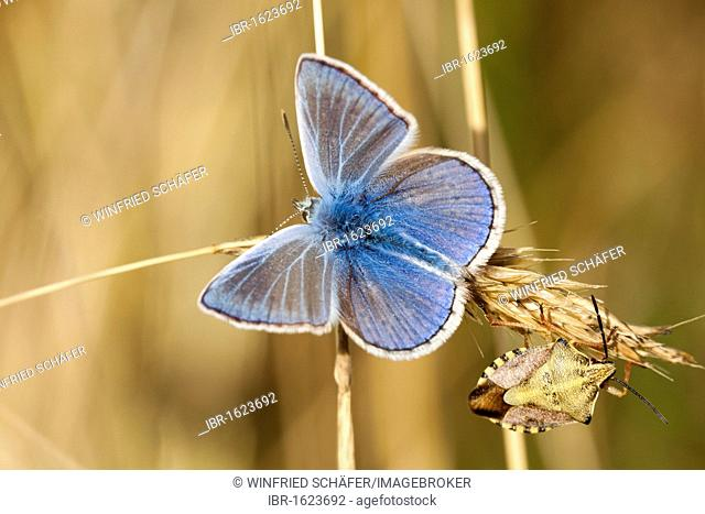Common blue (Polyommatus icarus), male with opened wings and a bug