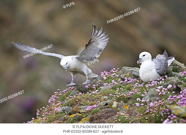 Northern Fulmar Fulmaris glacialis two adults, landing and resting amongst thrift, Shetland Islands, Scotland, june