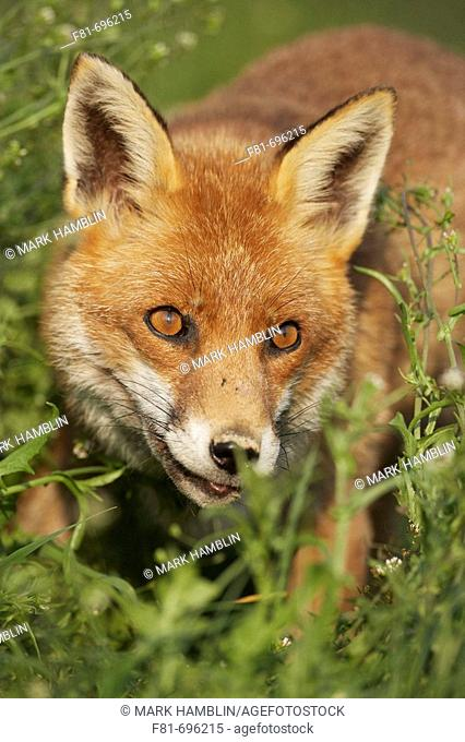 Red fox Vulpes vulpes portrait of adult  England  May 2006