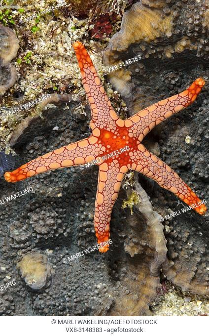Peppermint sea star, Fromia monilis, Verde Island, Batangas, Philippines, Pacific