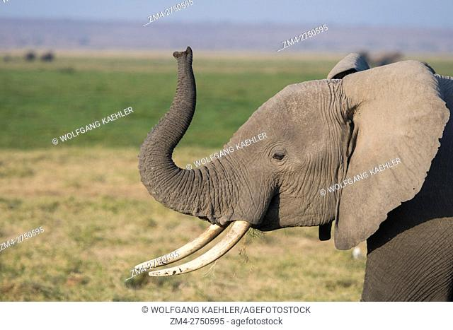 African elephants (Loxodonta africana) play-fighting (smelling each other) in Amboseli National Park in Kenya