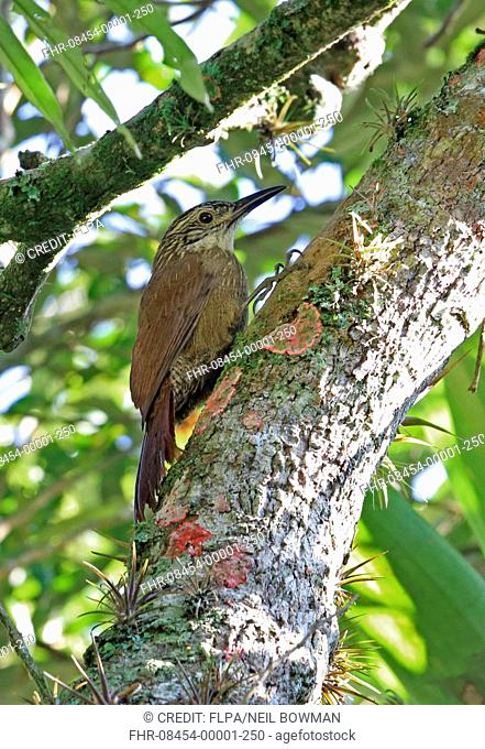 Planalto Woodcreeper (Dendrocolaptes platyrostris platyrostris) adult, clinging to tree trunk, Atlantic Rainforest, Rio de Janeiro State, Brazil, July