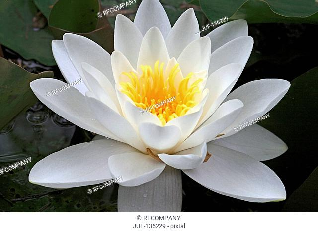 white water lily / Nymphaea alba