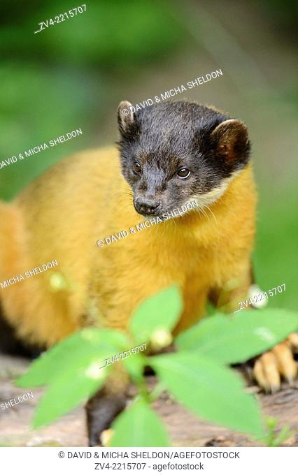 Close-up of a yellow-throated marten (Martes flavigula) in spring