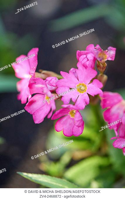 Close-up of Himalayan meadow primrose (Primula rosea) blossoms in spring