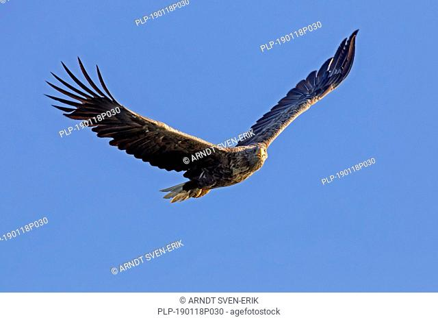 Soaring white-tailed eagle / sea eagle / erne (Haliaeetus albicilla) calling in flight against blue sky