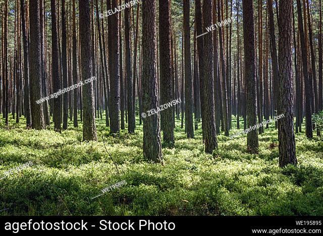 Forest near Swierczyna village within Drawsko County in West Pomerania region of Poland