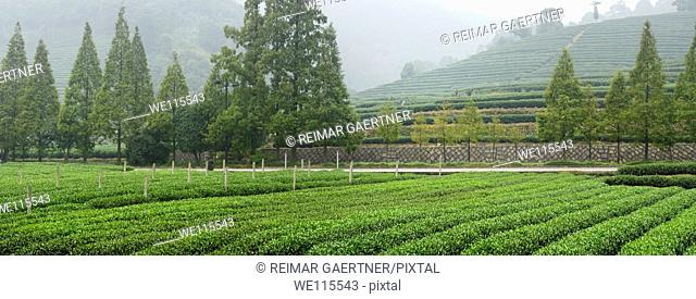 Green rows of tea bushes at Mei Jia Wu tea plantation in the Dragon Well area of Hangzhou China