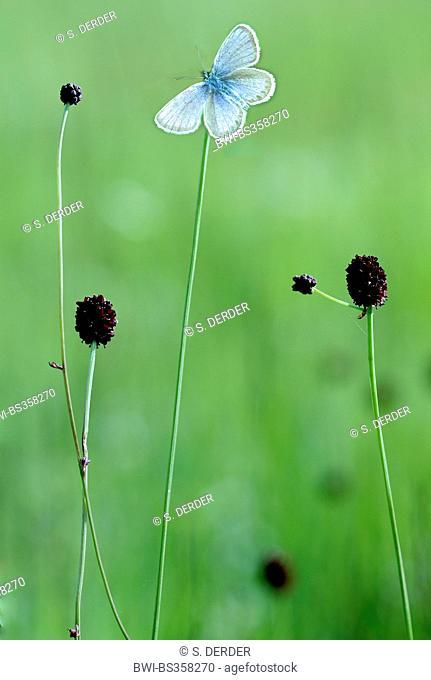 Great burnet (Sanguisorba officinalis, Sanguisorba major), flowering with gossamer-winged butterfly, Germany, Bavaria, Murnauer Moos