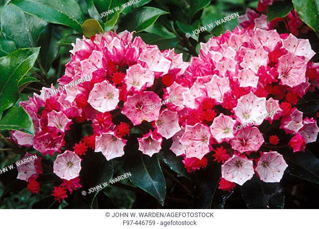 Mountain Laurel (Kalmia latifolia) garden flower. Ashland, Oregon, USA